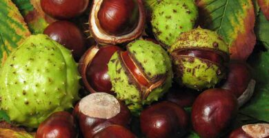 cuales son los beneficios de la castaña de indas para la salud